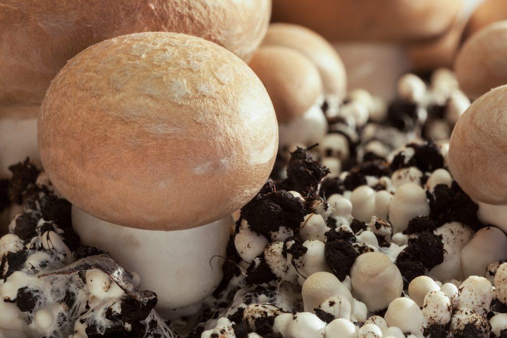 Выращивание грибов сидя дома